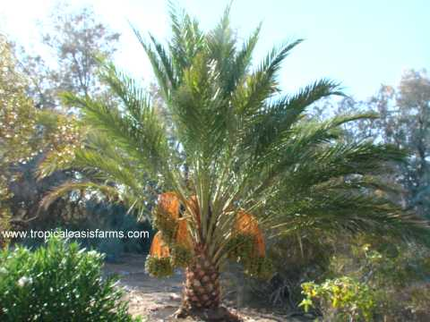 Date palm tree saudi arabia