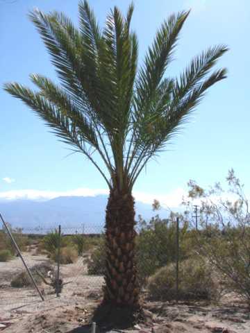 Medjool Date Palm Trees for sale & Medjool Dates